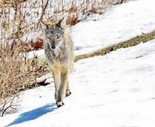 A coyote walks in the snow in the wild. Coyotes are best known as desert animals, but they also have been occasionally spotted in the lush green woods of southeastern Pennsylvania. (Daily Local News)