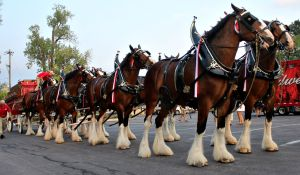 The Budweiser Clydesdales will return to West Chester on Sept. 4 as they make their way through the Philadelphia area as part of the Budweiser Made in America festival. (Candice Monhollan)