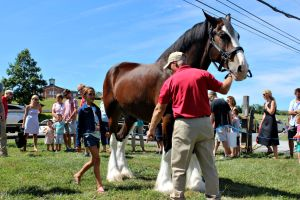 Jack, one of the Budweiser Clydesdales, visited the Brandywine Ace Pet & Farm store in Pocopson Township Sunday for the public to be able to get up close with him. (Candice Monhollan)