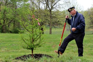Jed Burns, a retired Marine and commander of the Disabled American Veterans of West Chester, stands by one of the Metasequoia Dawn Redwood trees planted in honor of the veterans by West Chester Borough on Friday. (Candice Monhollan)